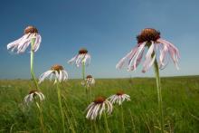 WAH KON TAH PRAIRIE - WILDFLOWERS